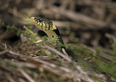 Grass-snake_9304 (Peter Warne-Epping Forest) Tags: uk reptile snake essex grasssnake natrixnatrix coppedhall ukreptile coppedhallpark