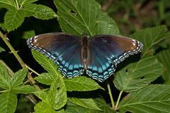 Red-spotted Purple (Limenitis arthemis),  Williamson County, Tennessee (kmalone98) Tags: butterflies redspottedpurple brushfoots