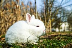Sento aria di primavera! (stefano.al2) Tags: samsungnx3000 animali coniglio primavera bianco