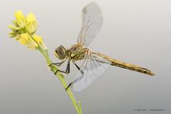 Newborn (jrosvic) Tags: dragonfly immature sympetrumfonscolombii odonata odonato entomology entomologia anisoptera anisoptero nikond7100 nikon60mm28dmicro freehand cartagena murcia spain libellulidae libélula macro closeup