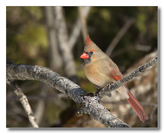 103A6460-DL   -   Cardinal rouge (femelle)   /   Northern Cardinal (female).