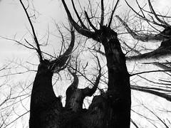 DEMONIO (kchocachorro) Tags: blackandwithe bnw blanco negro arbol nature