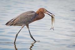 Carry Out (gseloff) Tags: reddishegret bird fishing mullet feeding surf wildlife bolivarflatsshorebirdsanctuary houstonaudubonsociety galvestoncounty texas gseloff