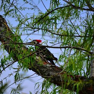 Woodpecker  Follow @jet7black and @jet7black_wildlife On IG  Follow Me On  Facebook:Jet7Black  Flickr:jet7black  Twitter:Jet7Black