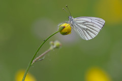 Pieris napi (klein geaderd witje, Green-veined White) (Rob Blanken) Tags: