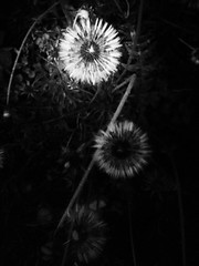 142 (Manzabar) Tags: blackwhite dandelion project365 flickrandroidapp:filter=none