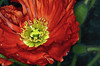 Red Poppy (Explored) (Wes Iversen) Tags: flowers poppies macros excellence chicagobotanicgarden hcs tokina100mmf28atxprod clichésaturday