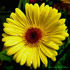 Yellow Gerbera Flower_3023 (smack53) Tags: plant flower canon drops powershot waterdrops a510 smack53