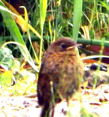 Young Robin 14th June 13 (Cardedfolderol) Tags: robin birds yorkshire birding ornithology fledgling youngsters southyorkshire gardenbirds