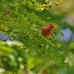 Looking For Insects (Bill Bunn) Tags: portland maine housefinch