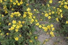 Rosa ecae (Rosaceae) (yakovlev.alexey) Tags: kugitang uzbekistan rosaceae surkhanskiynaturereserve