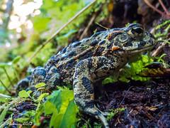 20130630-DSCN5151 (Zigstermeister) Tags: june wildlife toad wta trailwork bakerlake 2013 bcrt washingtontrailsassociation