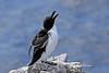 IMG_ razor bill (Olive Taylor. Thank you for your visit.) Tags: birds northumberland razorbill northeastengland farnislands