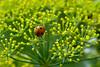 L A D Y B U G (ArvinderSP) Tags: flowers plant macro nature closeup insect nikon ladybug dillflowers