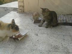 (hsam_32) Tags: pet cats love beautiful animals cat sad small homeless egypt kitty kittens cairo kitties egyptianmau kittiens helioples flickrandroidapp:filter=none