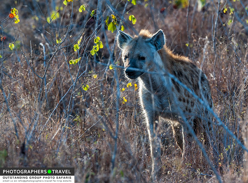 Spotted brown hyena