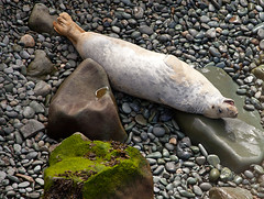 Yawnnnnn.... (Simon M Turner) Tags: park wales coast national seal pembrokeshire