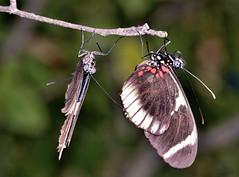 Friends… (Wes Iversen) Tags: butterflies chicagobotanicgarden odc hcs tokina100mmf28atxprod ourdailychallenge clichésaturday