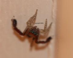"""for your eyes only"" (Phil Arachno) Tags: france spider fra arthropoda arachnida spinnen araneae landes salticidae saitisbarbipes"