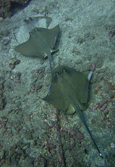 Stingrays at a cleaning station (jd1001) Tags: bali indonesia underwater stingray scuba diving 2013