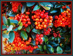 October Firethorn Berries (MissyPenny) Tags: autumn orange usa fall garden flora berries pennsylvania bushes buckscounty pyracantha firethorns pdlaich missypenny