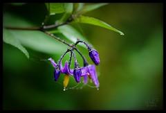 Daily Doodle 96 (2013-10-04) (Kristel's Flow) Tags: flower drops spiderweb thenetherlands noordbrabant panasoniclumixg5 olympusmzuikodigitaled60mmf28macro