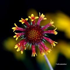 Gaillardia, blanket flower (jlcummins - Washington State) Tags: flowers flora gaillardia flowergarden flowersarebeautiful gallardiaaristata thebestofmimamorsgroups floraaroundtheworld ourwonderfulandfragileworld batslair