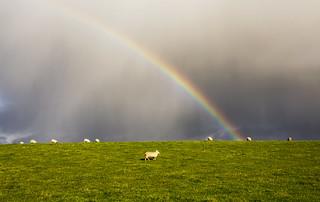 Rainbow ~ Sheep