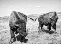 Buffalo Commons, North Dakota (Sierragoddess) Tags: usa landscape buffalo northdakota nd badlands bison medora darlahueske focusonthespirit