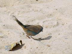 Blue Waxbill (Linda DV) Tags: bird bluewaxbill uraeginthusangolensis passeriformes estrildidae geotagged geomapped powershotsx40 nature river 2013 lindadevolder canon travel africa southernafrica namibia