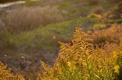 ジッと見る。。 (e_haya) Tags: flower セイタカアワダチソウ nikond7000