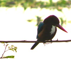1IMG_3917 KINGFISHER IN OKHLA BIRD SANCTUARY IN NOIDA INDIA (Rajeev India (THANKS for views, comments n faves)) Tags: noida india bird kingfisher sanctuary in okhla