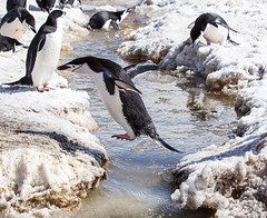 Crossing Stream (Roaming the World) Tags: penguin antarctica deceptionisland penguincolony chinstrappenguin southshetlands baileyhead