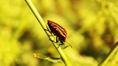 321macro (Hegyaljai Imre) Tags: macro insect makro insekten rovar makr rovarok hegyaljaii