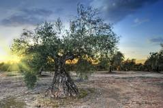Olivar (DSC_1884) (José Luis Pérez Navarro) Tags: trees sunset naturaleza sun tree sol nature landscape atardecer nikon árboles paisaje árbol olivo d60 olivar nikond60 blacky2007 platinumheartaward world100f joseluisperez frameitlevel02 frameitlevel03