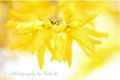 Spring beauties (Simply Viola (Off / Very busy )) Tags: plants primavera nature yellow spring natura giallo forsythia pianta mygearandme mygearandmepremium
