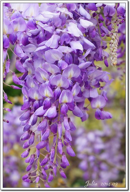 紫藤、老梅 (18)