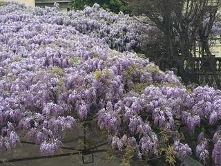 Il glicine fiorito: particolare (foto 2 aprile 2014).
