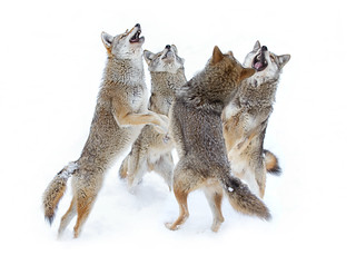 Coyote Sing-along