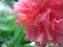 (Tlgyesi Kata) Tags: blossom hibiscus greenhouse botanicalgarden hibiskus botanikuskert hibiszkusz veghz vcrttibotanikuskert withcanonpowershota620 nemzetibotanikuskert