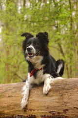 2 avril (tynn--) Tags: dog chien nature collie border down sit australien foret parc assis couch berger diez hakou