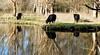Heckrunderen - Park Vogelenzang Spijkenisse (Roel van Deursen) Tags: heckrunderen parkvogelenzangspijkenisse