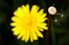 End of Days (Lostash) Tags: flowers plants nature weeds flora seeds wildflowers clocks dandelions