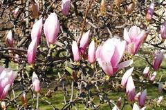 SAM_5442a_jnowak64 (jnowak64) Tags: poland polska krakow magnolia cracow kwiaty mik wiosna malopolska krakoff wzgorzewawelskie