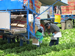 IMG_1158 (heajohnson76) Tags: california people places equipment credit produce ucd farmworkers leafygreens handpicking headlettuce montereyco davidgoldenberg packingpackaging growingpractices fieldpacking harvesthandling singleharvest