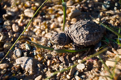 Baby Snapping Turtle (afternoon_dillight) Tags: new baby water born spring infant snapping turtle walk small young tiny hatch gravel