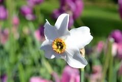 Narcissus Poeticus ~Fleetwood Gardens~ (careth@2012) Tags: closeup spring nikon bokeh britishcolumbia daffodil narcissus beautifulearth perfectpetals asingleflower unforgettableflowers d3100 nikond3100 itsallaboutflowers beautifulearthlevel3 beautifulearthlevel4