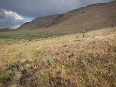 Sagebrush steppe: north of Frenchglen along the northwest flank of Steens Mountains, Oregon (Matt Lavin) Tags: oregon steensmountains cheatgrass bromustectorum sagebrushsteppe wyomingbigsagebrush artemisiatridentatawyomingensis