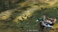Mallards & trout. Location is secret (024) (clive_bryson) Tags: bird mallard trout