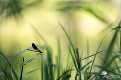 It's my house ! (photosenvrac) Tags: macro bokeh insectes libellule sigma150 caloptryx ordonates thierryduchamp